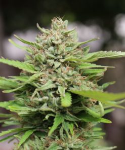Buy Magic Melon kush online